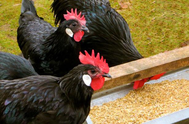 Кормление птиц породы барбезье